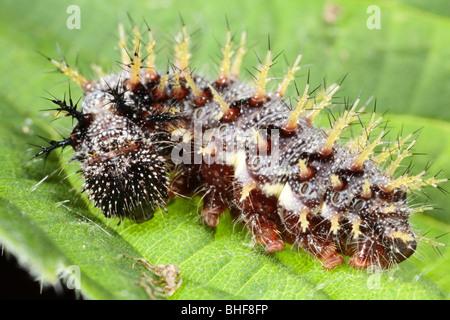 Ausgewachsene Larve des Schmetterlings Red Admiral (Vanessa Atalanta) Fütterung ein Nesselblatt. Powys, Wales. - Stockfoto