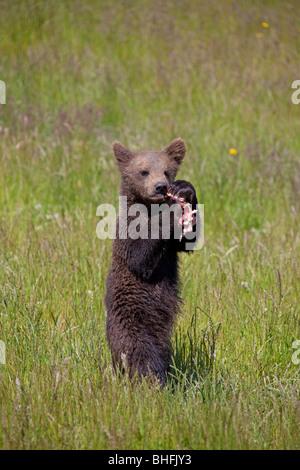 Europäischer Braunbär (Ursus Arctos). Cub stehen auf einer Wiese beim Essen ein Stück Fleisch. - Stockfoto