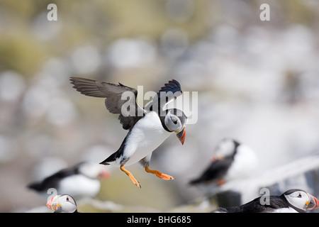 Papageitaucher, Farne Islands - Stockfoto