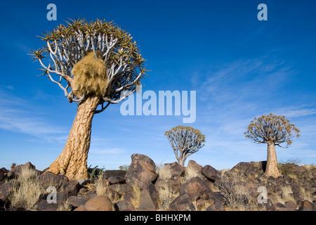 Köcher Baum (Aloe Dichotoma) mit kommunalen Nest Nest der sozialen Weber (Philetairus Socius) in der Nähe von Keetmanshoop - Stockfoto