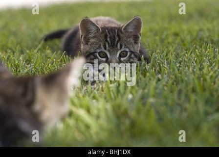 Zwei Kätzchen spielen auf einem Rasen in Nordkalifornien. © Craig M. Eisenberg - Stockfoto