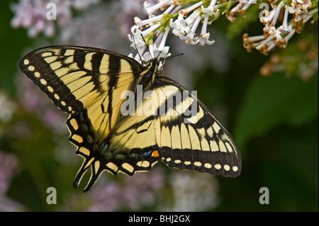 Kanadische Tiger Schwalbenschwanz (Papilio Canadensis) Nectaring auf lila bush Stockfoto