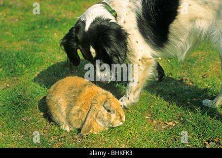 Hund riecht um einen verängstigten Kaninchen - Stockfoto