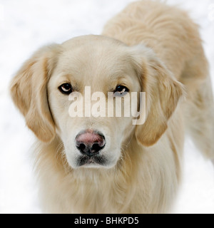 Golden Retriever (Canis Lupus Familiaris) im Schnee im winter - Stockfoto