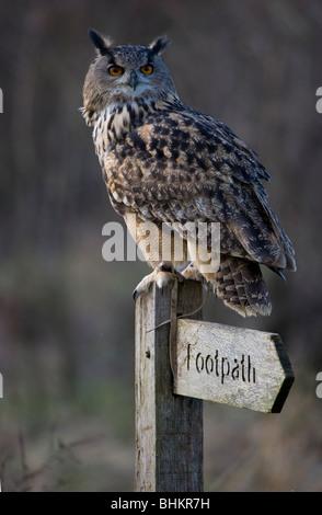 Eurasische Adler-Eule Bubo Bubo Porträt des einzigen erwachsenen männlichen hocken auf Fußweg Schild Gloucestershire, - Stockfoto