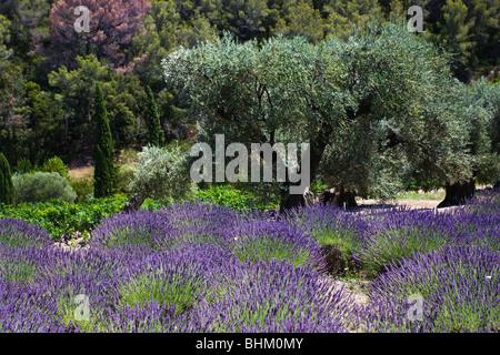 In der Provence in der Nähe ein Lavendel-Feld und ein alter Olivenbaum auf dem Gebiet der Souviou Le Beausset in - Stockfoto