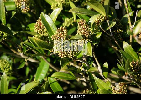Skimmia X confusa 'Kew Green', Rutaceae, Japan, China und Ostasien. - Stockfoto