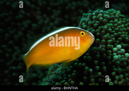 Amphiprion Sandaracinos, Eastern skunk Anemonenfische, Tulamben, Bali, Indonesien, Indo-Pazifik - Stockfoto