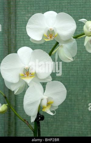 weiße gelbe Zentrum Orchidee Blume tropische Pflanzen hawaii ...