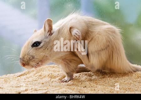 Mongolische Rennmaus - kratzen sich / Meriones Unguiculatus - Stockfoto