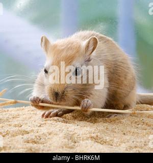 Mongolische Rennmaus - an einem Stiel knabbern / Meriones Unguiculatus - Stockfoto