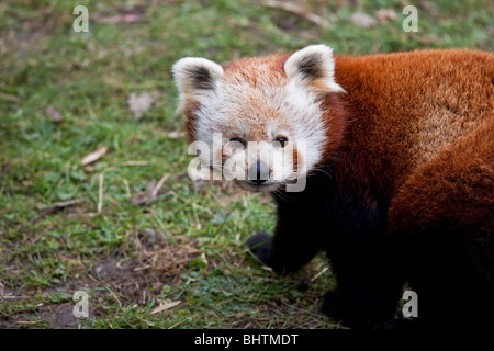 roter panda in dublin zoo irland stockfoto bild 31290022 alamy. Black Bedroom Furniture Sets. Home Design Ideas