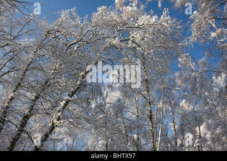 niedrigen Winkel von Schnee bedeckt Bäume gegen blauen Himmel - Stockfoto