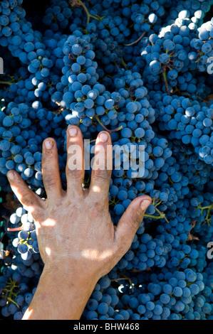 Bäuerin mit der Hand über schwarzen Trauben im Weinberg Libanon Nahost Asien - Stockfoto