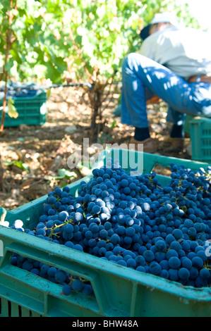 Mitarbeiter Kommissionierung schwarze Trauben vom Baum in einem Weinberg Libanon Middle East Asia - Stockfoto