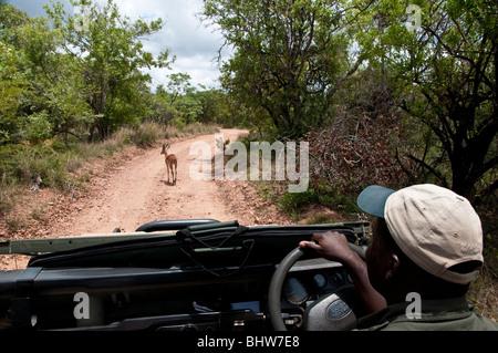 Game Drive/Safari mit Ranger - Stockfoto