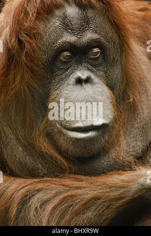 Orang-Outang (Pongo Pygmaeus) - Stockfoto