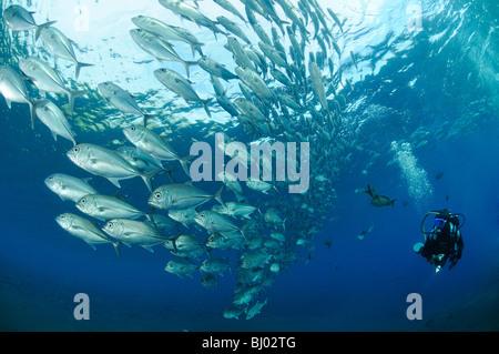 Caranx Sexfasciatus Bigeye Trevally, Schule für Großaugenthun Stachelmakrelen, Schule der Fische, Scuba Diver, Tulamben, - Stockfoto