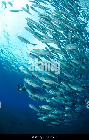 Caranx Sexfasciatus, Bigeye Trevally, Schule für Großaugenthun Stachelmakrelen, Schule der Fische, Tulamben, Liberty - Stockfoto