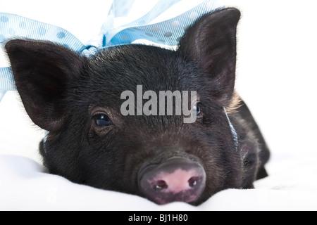 Einsame schwarze Schweinchen liegend mit einem blau gepunkteten Band. - Stockfoto