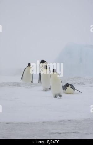 Kaiser-Pinguin, Aptenodytes Forsteri, Gruppe von Erwachsenen in leichten Schneesturm im Schnee Hügel Insel antarktische - Stockfoto