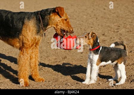 Fox Terrier und Welsh Terrier spielen zusammen mit Kugel - Stockfoto