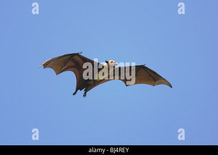 Flughund (Pteropus Giganteus) fliegen in Sri Lanka - Stockfoto