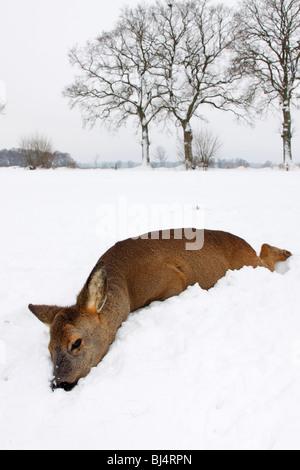 Tot Europäische Rehe (Capreolus Capreolus), vor kurzem gestorben, im Winter im Schnee - Stockfoto