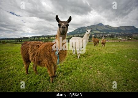 Neugierig Lamas in der Landschaft von Ecuador, Südamerika - Stockfoto