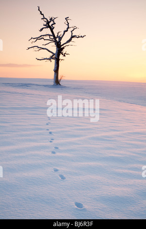 Tierspuren, die zu einer toten Eiche in einem schneebedeckten Feld - Stockfoto