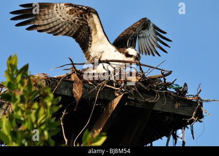 Ein Fischadler bringt einen anderen Stick in ein Nest in Bowditch Point Park, Fort Myers Beach, Florida - Stockfoto