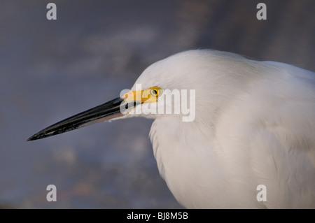 Porträt einer Snowy egret - Stockfoto