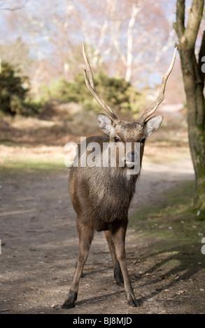 Sika Hirsch Cervus Nippon einzigen erwachsenen männlichen stehen Arne RSPB, Dorset, Großbritannien - Stockfoto