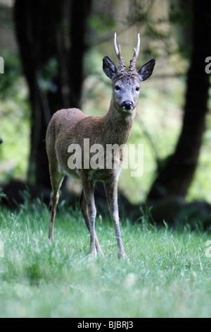 Reh (Capreolus Capreolus), Buck stehen Alarm, Deutschland - Stockfoto