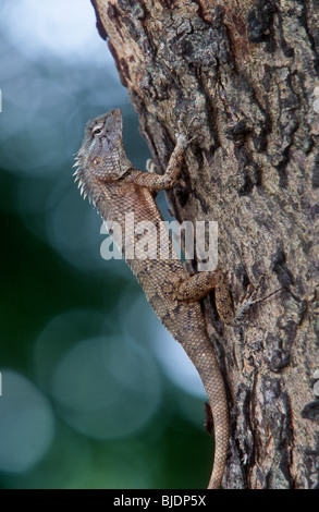 Garten-Eidechse, Blutsauger, Calotes versicolor, Sri Lanka, - Stockfoto