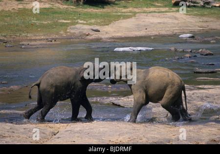Zwei asiatische Elefanten (Elephas Maximus) männlichen kämpfen am Ufer Maha Oya Fluss. Pinnawela Elefantenwaisenhaus. - Stockfoto