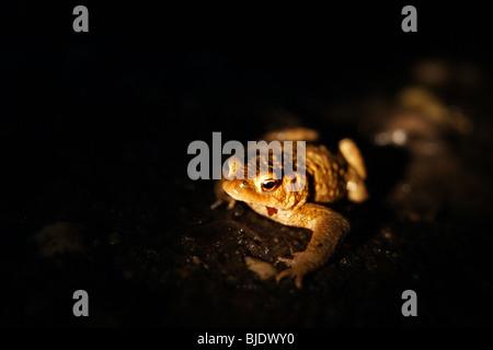 Eine Kröte im Dunkeln - Stockfoto