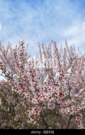 Mandel Bäumen Blumenwiese im Frühling Saison rosa weiße Blumen ...