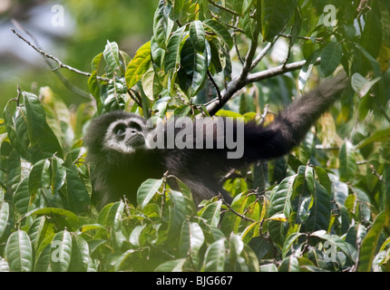 Andromeda, Alpha-Weibchen einer Familie weiß-handed oder Lar Gibbon in Khao Yai, Thailand. - Stockfoto