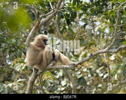 """""""Chai"""" White-handed oder Lar Gibbon in Khao Yai, Thailand, Alpha-Männchen 'A' Familie in einem Baum. - Stockfoto"""