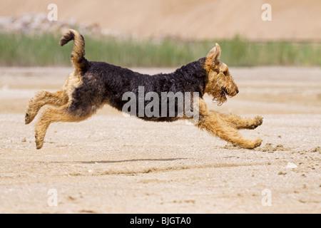Airedale Terrier Hund laufen Straße - Stockfoto