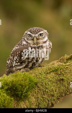 Kleine Eule auf Baumstamm, Athene Noctua, Bodmin Moor Cornwall (Captive) - Stockfoto