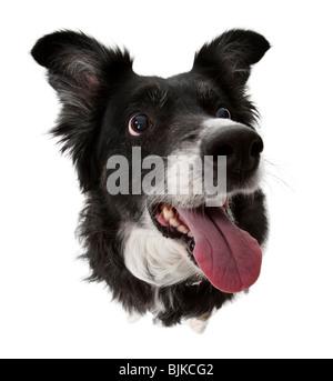 Blickte auf Hund mit Zunge heraus - Stockfoto