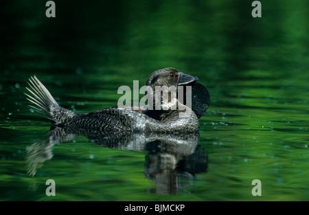 Moschus-Ente (Biziura Lobata), männliche schwimmen - Stockfoto
