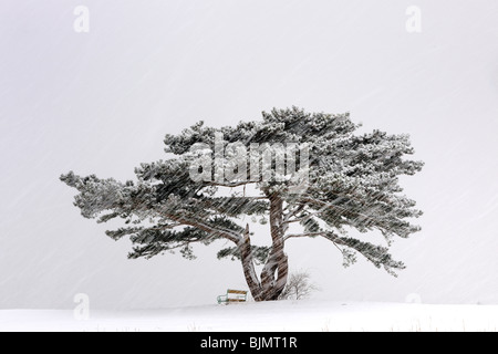 Europäische Schwarzkiefer (Pinus nigra) in einem Schneesturm, Lower Austria, Austria, Europa - Stockfoto