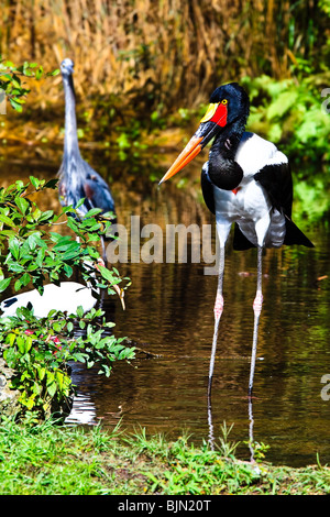 Sattel – abgerechnet Stork, häufig in Afrika (Nahrung Senegalensis) - Stockfoto