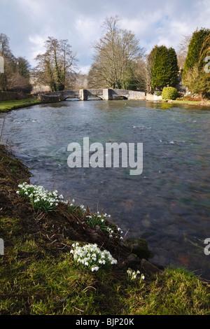 Schneeglöckchen wachsen an den Ufern des Flusses Wye in der Nähe der Sheepwash Brücke bei Ashford-in-the-Water, - Stockfoto