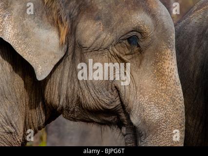 Ein weiser alter indischer Elefant (Elephas Maximus). - Stockfoto