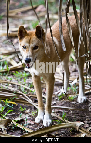 Dingo canis lupus dingo northern territory australien for Wildparks in der nahe