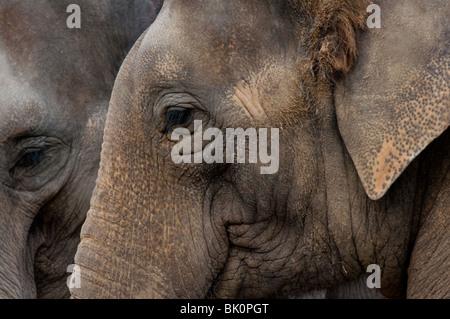 Zwei indische Elefanten ((Elephas Maximus) - Stockfoto